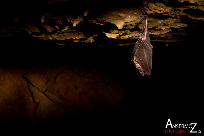 Ansermoz Photography Bat In Cave 002