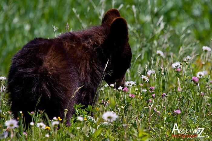 Ansermoz Photography Bear Cub