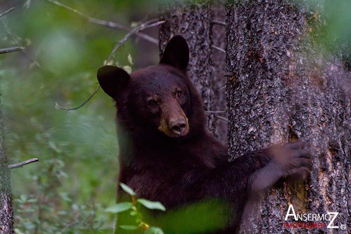 Ansermoz Photography Bear