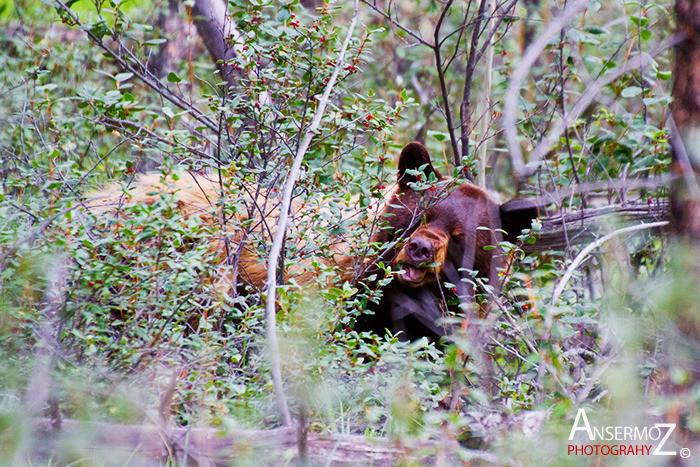 Ansermoz Photography Brown Bear