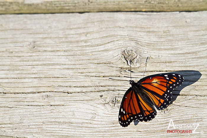 Ansermoz Photography Butterfly Monarch