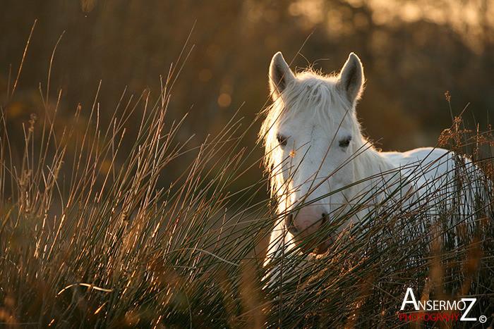 Ansermoz Photography Camargue Horse 1