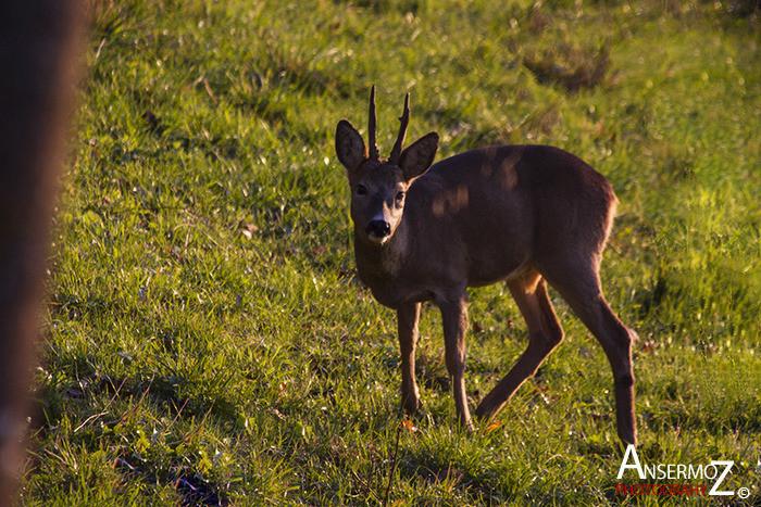 Ansermoz Photography Deer