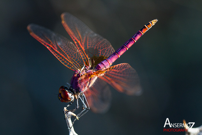Ansermoz Photography Dragonfly 1 1