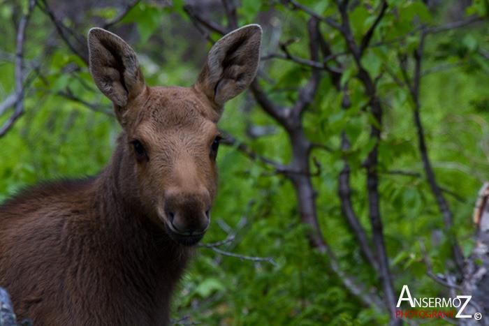 Ansermoz Photography Moose Calf