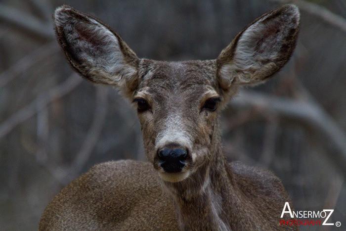 Ansermoz Photography Mule Deer