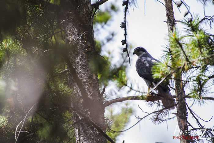 Ansermoz Photography Northern Goshawk