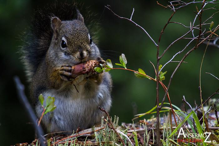 Ansermoz Photography Squirrel 1