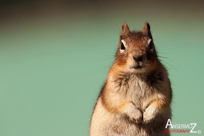 Ansermoz Photography Squirrel 2