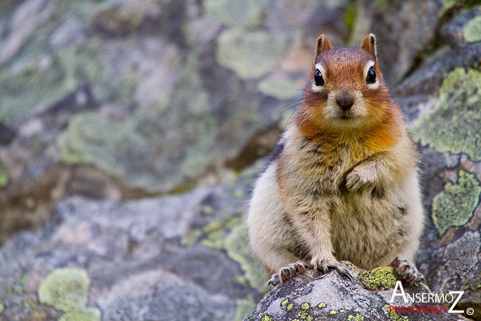 Ansermoz Photography Squirrel 3