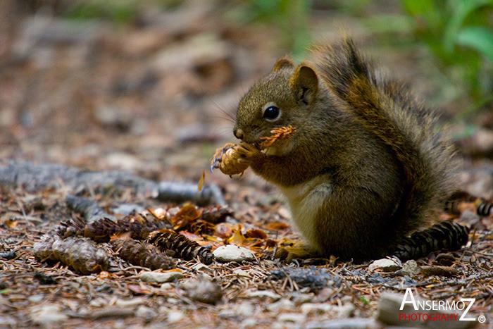 Ansermoz Photography Squirrel 4