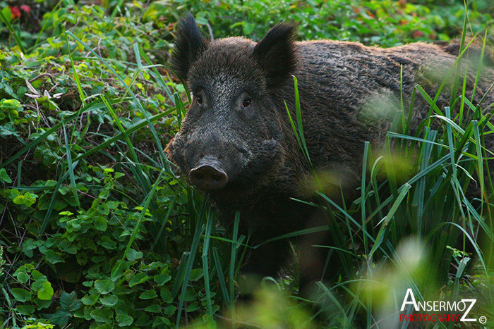 Ansermoz Photography Wild Boar 1