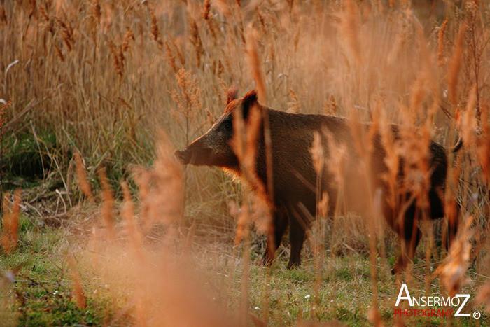 Wild Boar 002 Medium