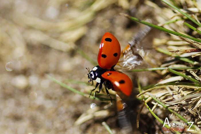 Ansermoz photography ladybug