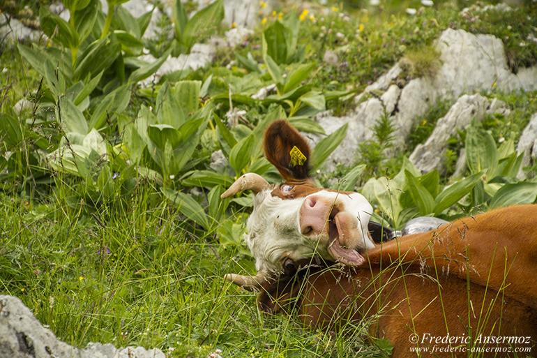 Vache suisse 11