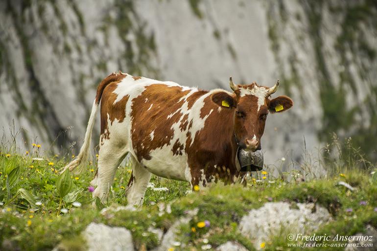 Vache suisse 12