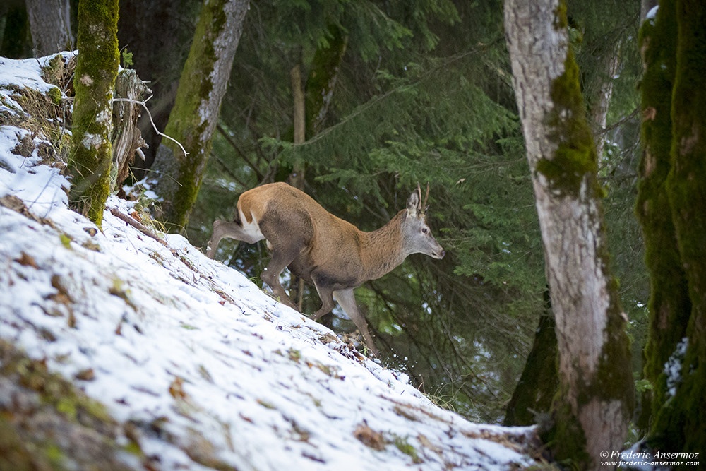 Young stag at the end of the Fall Season, in the snow