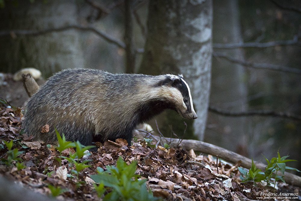 Badger getting out of his burrow