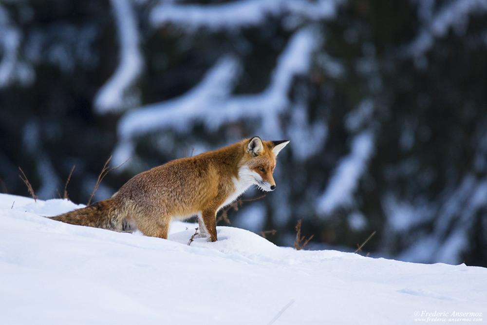 Fox hunting during winter season