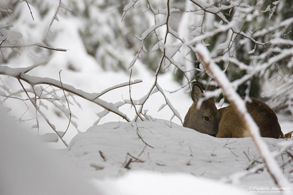 Roe deer sleeping in the snow