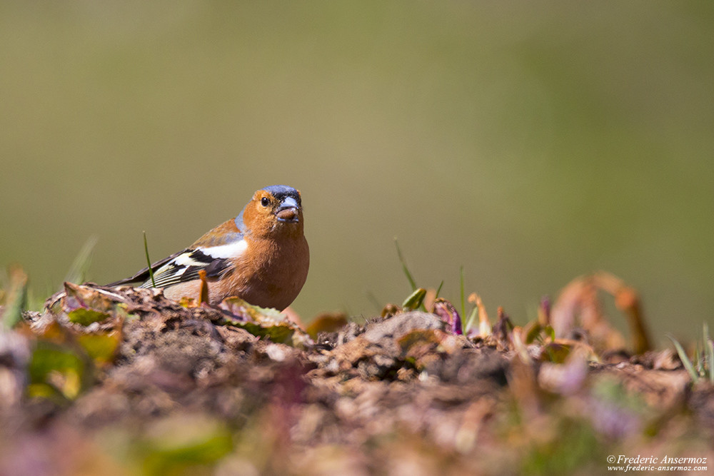 Common chaffinch with a seed in his beak