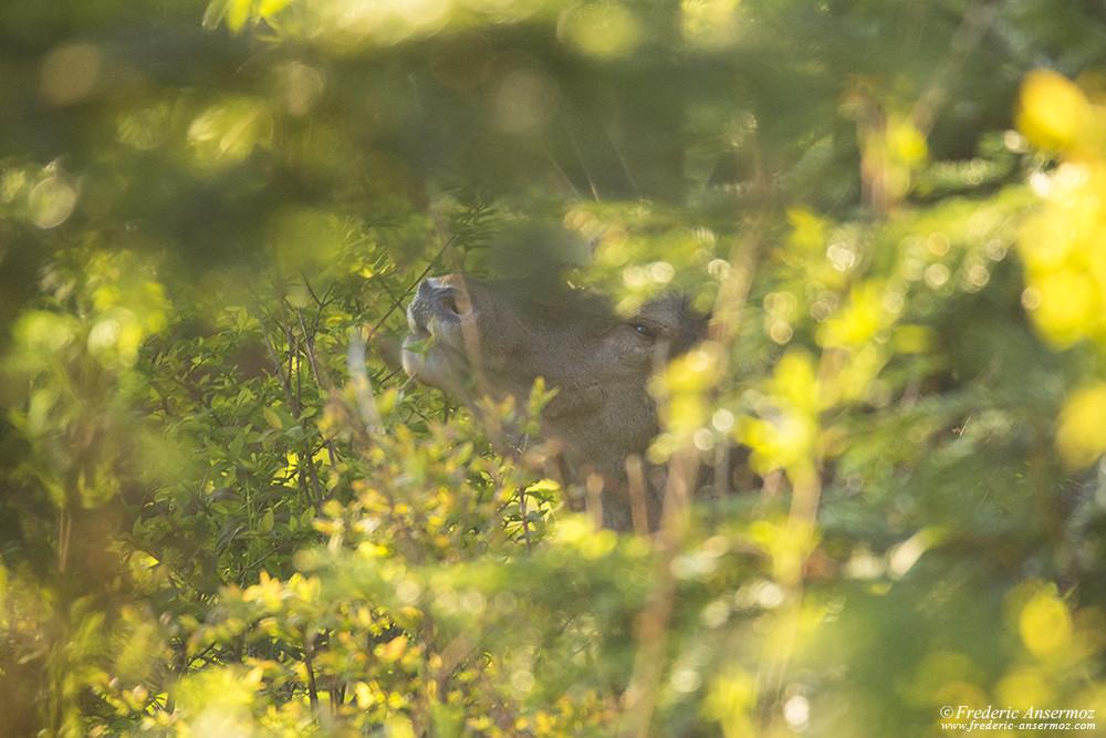 Cerf en train de se nourrir dans les bois