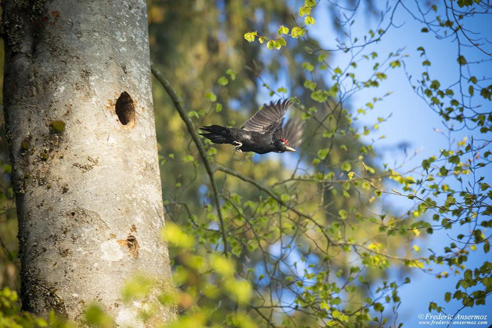 Envol du pic noir quittant son nid