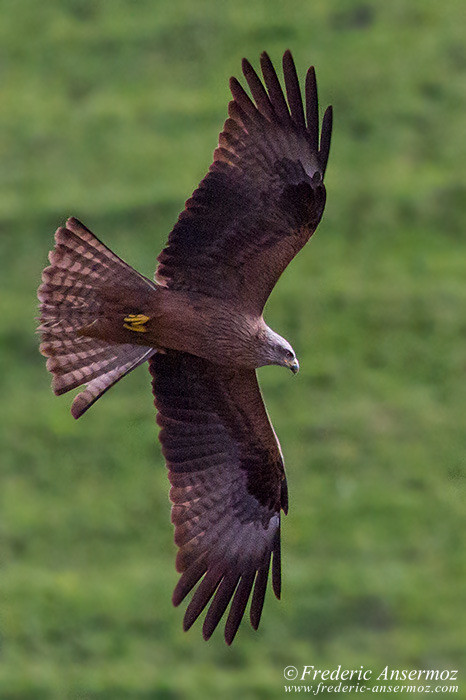Red kite ansermoz