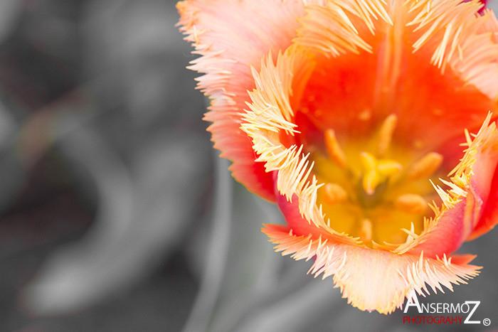 Tulip festival flower 003