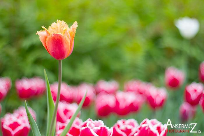 Tulip festival flower 012