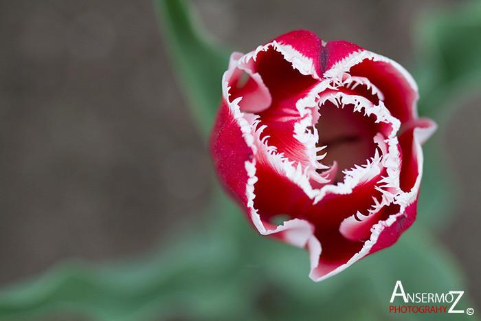 Tulip festival flower 016