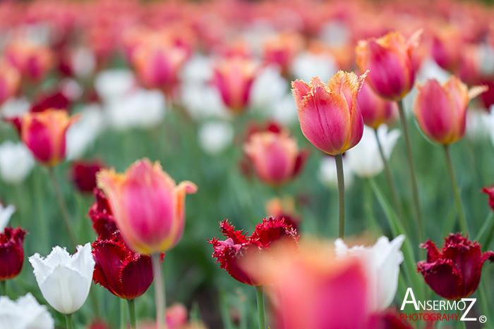 Tulip festival flower 017