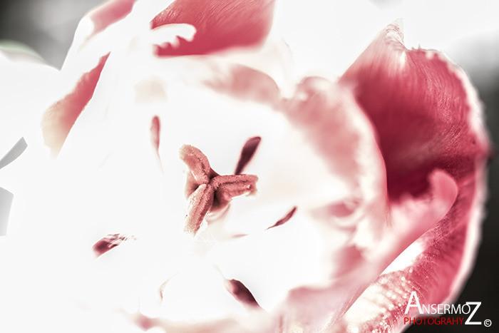Tulip festival flower 035