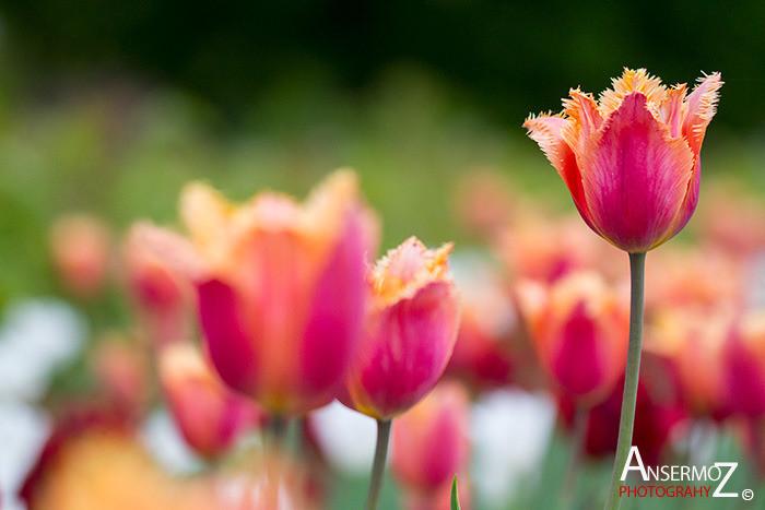 Tulip festival flower 043