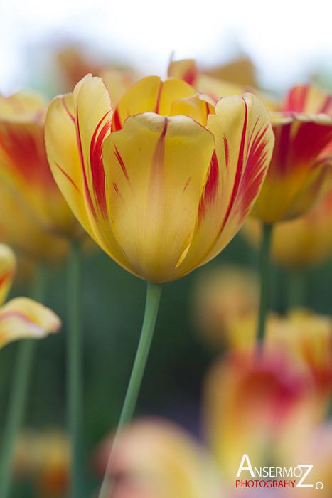 Tulip festival flower 095