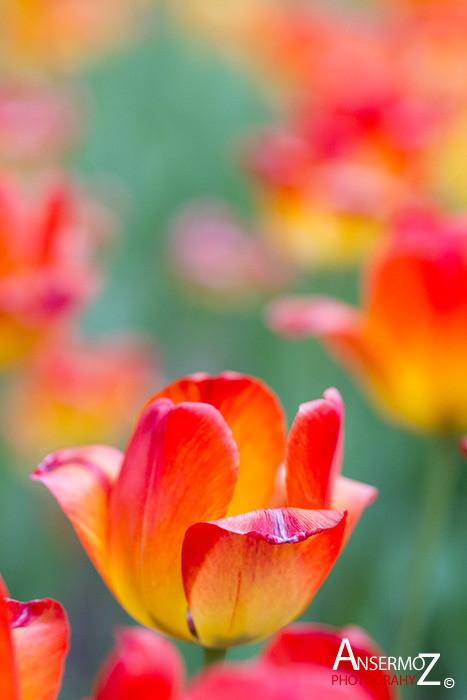 Tulip festival flower 098