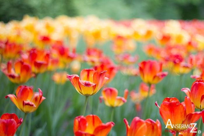 Tulip festival flower 105