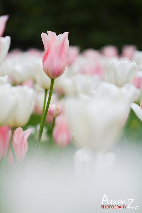 Tulip festival flower 126