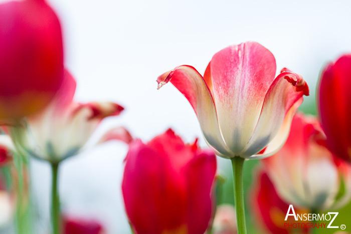 Tulip festival flower 133