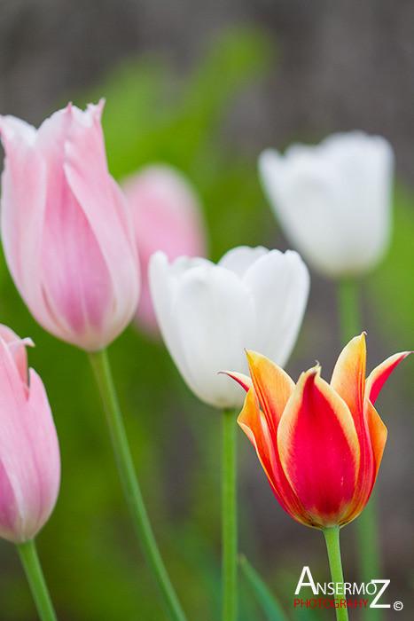 Tulip festival flower 159