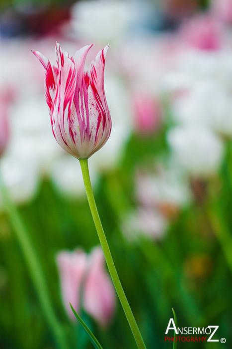 Tulip festival flower 165