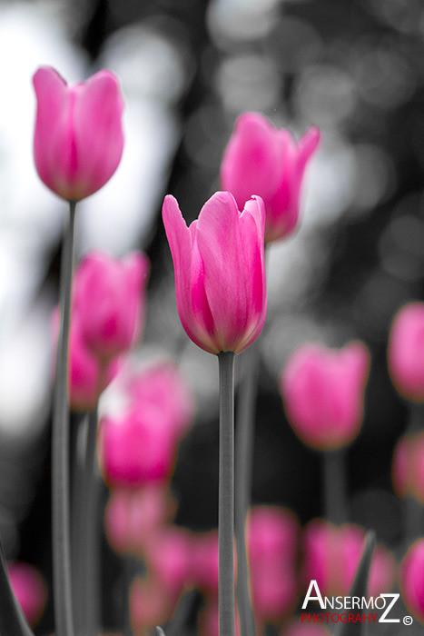 Tulip festival flower 202