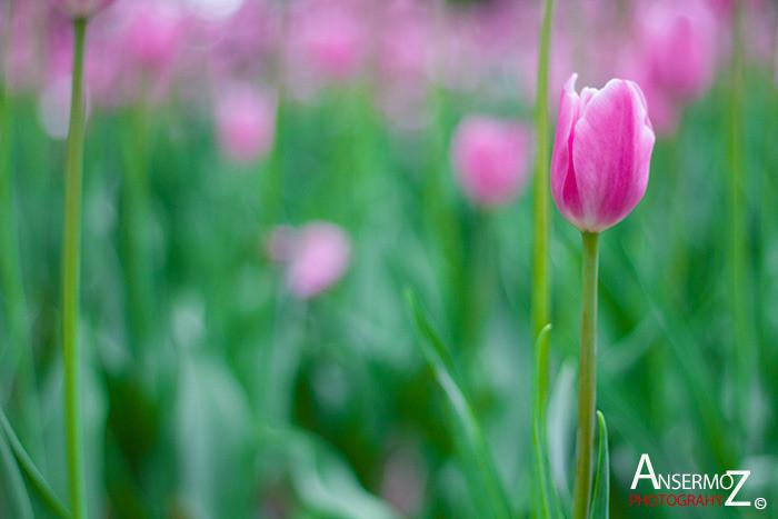 Tulip festival flower 210