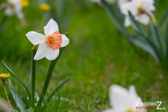 Tulip festival flower 232