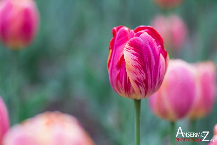 Tulip festival flower 235