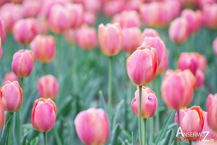Tulip festival flower 236