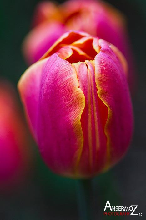 Tulip festival flower 240
