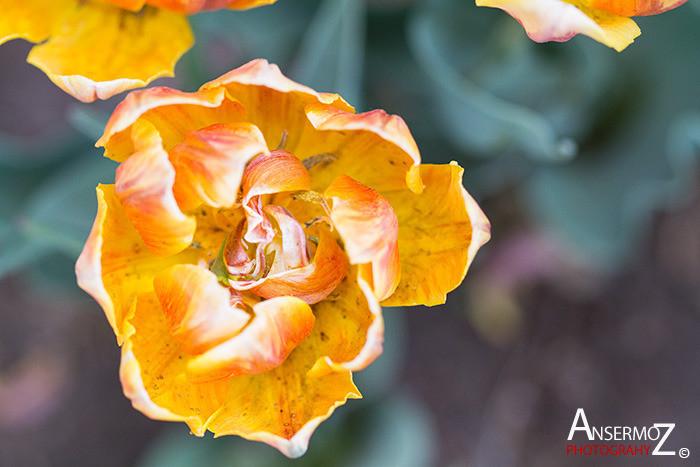 Tulip festival flower 244