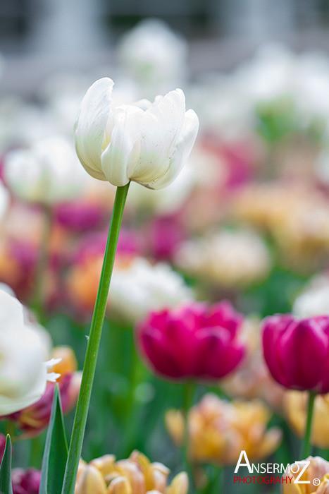 Tulip festival flower 245