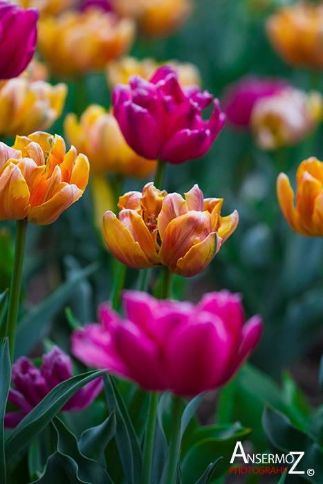 Tulip festival flower 248